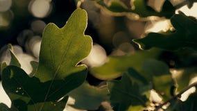 Groene eiken bladeren bij zonsondergang stock footage