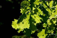Groene eiken bladeren in de zon Stock Foto