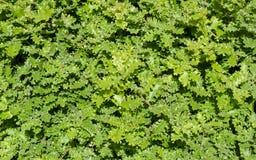 Groene eiken bladerenachtergrond Royalty-vrije Stock Fotografie