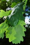 Groene eiken die bladeren door de zon worden aangestoken Stock Afbeelding
