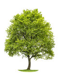Groene eiken die boom op witte achtergrond wordt geïsoleerd Aardvoorwerp Royalty-vrije Stock Afbeeldingen