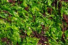 Groene en bruine algen Stock Fotografie