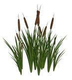 Groene en Bruine Cattails Royalty-vrije Stock Foto