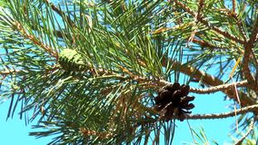 Groene en bruine denneappels op een tak stock footage