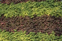 Groene en Donkere Violet Foliage Rows - Vertoning royalty-vrije stock foto