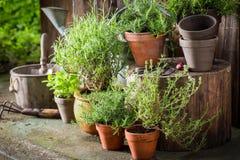 Groene en ecologische kruiden in oude kleipotten Stock Foto's