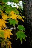 Groene en gele bladeren met boom Royalty-vrije Stock Afbeelding