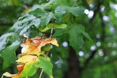 Groene en gele bladeren op de tak in het de herfstbos Royalty-vrije Stock Foto's
