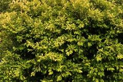 Groene en gele bladerenachtergrond Royalty-vrije Stock Afbeeldingen