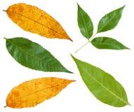 Groene en gele de herfstbladeren van asboom Stock Afbeelding