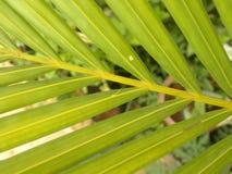 Groene en gele kleurenbladeren van Palm Stock Foto's
