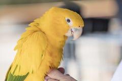 Groene en Gele Papegaai bij zich het Communautaire Verzamelen Stock Afbeeldingen