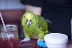 Groene en Gele Papegaai bij zich het Communautaire Verzamelen Royalty-vrije Stock Afbeeldingen