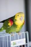 Groene en Gele Papegaai bij zich het Communautaire Verzamelen Stock Afbeelding