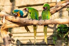 Groene en gele papegaaien - Aronskelkenararauna op boom Stock Afbeeldingen