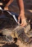 Groene en geëtiketteerde- schildpad die wordt gemeten Royalty-vrije Stock Fotografie