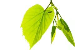 Groene en heldere lindeboombladeren Royalty-vrije Stock Afbeeldingen