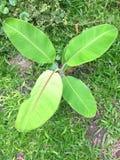 Groene en jonge banaanboom stock foto's