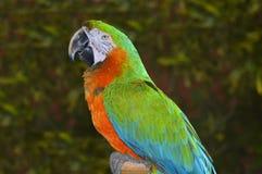 Groene en Oranje Ara Stock Foto