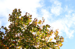 Groene en oranje esdoornboom Royalty-vrije Stock Afbeeldingen