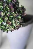 Groene en purpere hydrangea hortensiabloemen op een grijze achtergrond Royalty-vrije Stock Fotografie