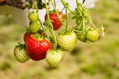 Groene en rode aardbeien Stock Foto's