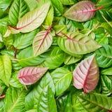 groene en rode bladeren van fuchsia als achtergrond, Stock Afbeeldingen