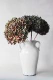 Groene en rode hydrangea hortensiabloemen op een grijze achtergrond Royalty-vrije Stock Foto's