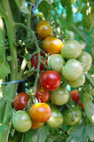 Groene en rode kersentomaten Stock Foto's