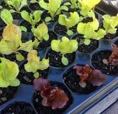 Groene en rode slazaailingen die in een celdienblad groeien Royalty-vrije Stock Afbeeldingen
