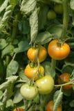 Groene en rode tomaten Stock Afbeeldingen