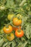 Groene en rode tomaten Stock Foto's