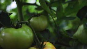 Groene en rode tomaten op een installatie in een serre Verse groenten, inlands en tuinbouwconcept stock footage