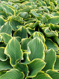 Groene en witte bladeren Royalty-vrije Stock Foto's