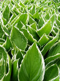 Groene en witte bladeren Stock Foto
