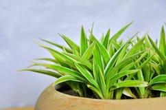 Groene en witte bladeren van spininstallatie in bruine pot Royalty-vrije Stock Foto's
