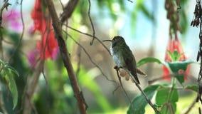 Groene en witte kolibrie bij machupicchu, Peru stock video