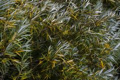 Groene en zilverachtige die bladeren in de wind worden geblazen stock afbeeldingen