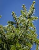 Groene en zilverachtige naalden van Picea omorica op blyehemel als achtergrond Close-up in natuurlijke sunligh royalty-vrije stock fotografie