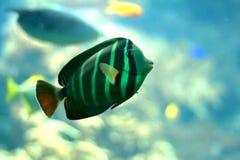 Groene en zwarte gestreepte vissen royalty-vrije stock afbeelding