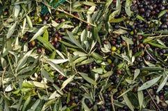Groene en zwarte olijven Royalty-vrije Stock Afbeeldingen