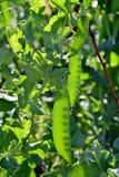 Groene erwten op close-ups witte als achtergrond Royalty-vrije Stock Foto's