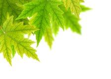 Groene esdoornbladeren Royalty-vrije Stock Fotografie