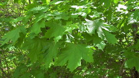 Groene esdoornbladeren die op de windachtergrond golven stock footage