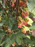 Groene esdoornbladeren met roze zaden Royalty-vrije Stock Fotografie