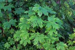 Groene esdoornbladeren met vlekken Royalty-vrije Stock Foto