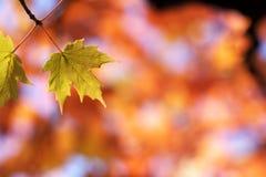 Groene esdoornbladeren op rood Stock Foto's