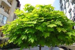 Groene esdoornbladeren in stad Royalty-vrije Stock Afbeeldingen