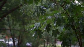 Groene esdoorntakken onder de dalende regen stock footage