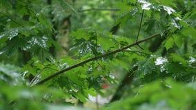 Groene esdoorntakken onder de dalende regen stock video